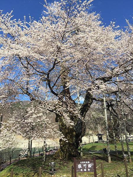 満開の荘川桜