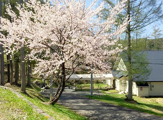 """桜""""が満開になりました♪"""