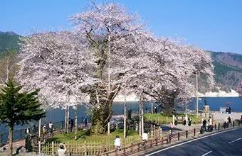 荘川桜 イメージ